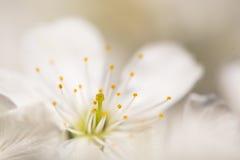 Желтый цветок вишни корналина Стоковое Изображение RF