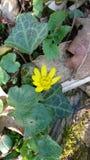 Желтый цветок в лесе Стоковая Фотография RF