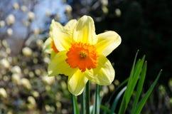 Желтый цветок в заходе солнца Стоковое Изображение RF