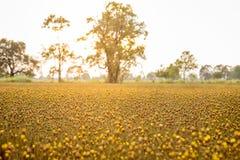 Желтый цветок в злаковике Стоковое Изображение RF