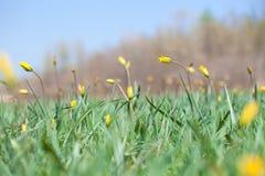 Желтый цветок в сочной зеленой траве стоковые изображения rf