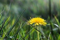 Желтый цветок в луге стоковое изображение rf
