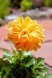 Желтый цветок георгина в цветени Стоковое Изображение