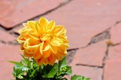 Желтый цветок георгина в цветени Стоковые Фотографии RF