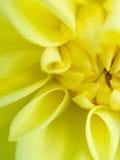 Желтый цветок георгина Стоковое Изображение