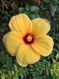Желтый цветок гибискуса стоковые фотографии rf
