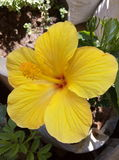 Желтый цветок гибискуса Стоковая Фотография RF