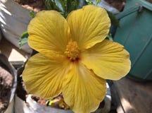 Желтый цветок гибискуса стоковые изображения