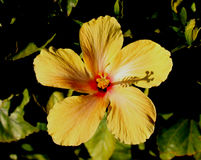 Желтый цветок гибискуса Стоковые Изображения RF