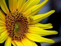 Желтый цветок, желтый паук Стоковые Изображения RF