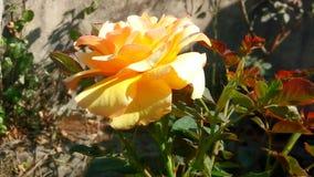 Желтый цветок золотое воскресенье красивое в естественном приросте природы Стоковые Изображения RF