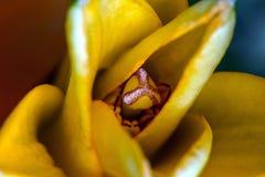 Желтый цветок лилии, накаляя тычинка Стоковое Изображение RF