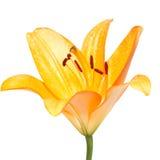 Желтый цветок лилии на белизне Стоковые Изображения
