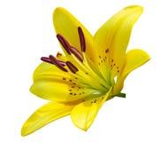 Желтый цветок лилии Стоковые Фотографии RF