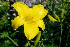 Желтый цветок лилии Стоковые Изображения RF
