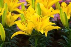 Желтый цветок лилии Стоковое Изображение RF