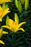 Желтый цветок лилии Стоковое Изображение
