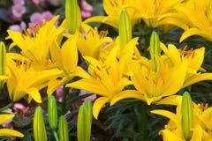 Желтый цветок лилии Стоковые Фото