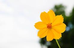 Желтый цветок космоса Стоковое фото RF