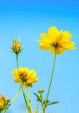 Желтый цветок космоса. Стоковые Фотографии RF