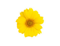 Желтый цветок маргаритки. Стоковое фото RF