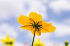 Желтый цветок маргаритки Стоковая Фотография