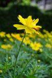 Желтый цветок маргаритки Стоковое Изображение RF