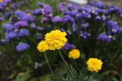 Желтый цветок на голубой кровати Стоковые Изображения RF