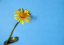 Желтый цветок на голубой предпосылке с космосом для вашего текста Стоковые Фотографии RF