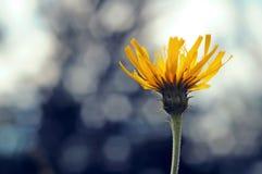 Желтый цветок на голубой предпосылке Стоковые Фотографии RF