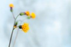 Желтый цветок на свете - голубой пастельной предпосылке Стоковое Изображение RF