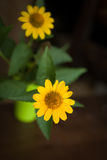 Желтый цветок на таблице Стоковые Фото
