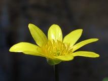 Желтый цветок на темной предпосылке стоковые фотографии rf