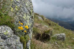 Желтый цветок на утесе na górze горы Стоковая Фотография RF