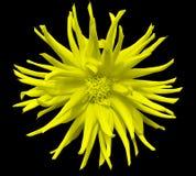 Желтый цветок на черной предпосылке изолированной с путем клиппирования closeup Стоковое Изображение RF