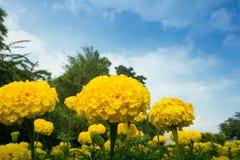 Желтый цветок ноготков в саде Стоковое фото RF