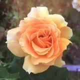 Желтый цветок дня матерей Розы винтажный стоковое фото rf