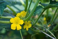 Желтый цветок огурца Стоковые Фотографии RF