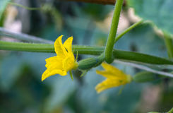Желтый цветок огурца Стоковая Фотография RF