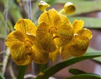 Желтый цветок орхидеи стоковые изображения
