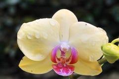 Желтый цветок орхидеи стоковые изображения rf