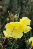 Желтый цветок осени Стоковые Фото