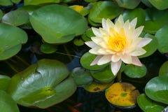 Желтый цветок лотоса Стоковые Фотографии RF
