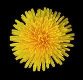 Желтый цветок одуванчика на черноте изолировал предпосылку с путем клиппирования closeup Отсутствие теней Для конструкции Стоковые Фото