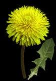 Желтый цветок одуванчика на черноте изолировал предпосылку с путем клиппирования closeup Отсутствие теней Для конструкции Взгляд  Стоковые Изображения RF