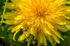 Желтый цветок одуванчика с малой мухой Стоковые Фото