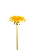 Желтый цветок одуванчика Стоковые Фотографии RF
