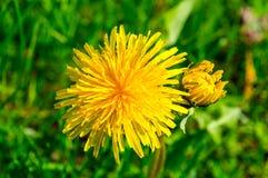 Желтый цветок одуванчика Стоковая Фотография RF