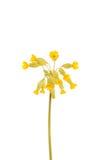 Желтый цветок первоцвета Стоковые Изображения