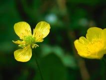 Желтый цветок поля в цветени Стоковое Фото